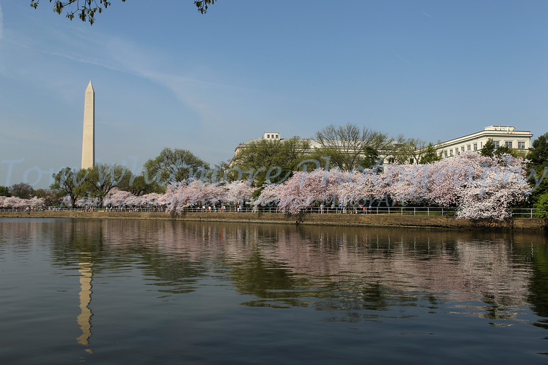 Cherry Blossoms along the basin in DC.