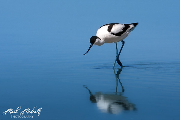 Blue Avocet