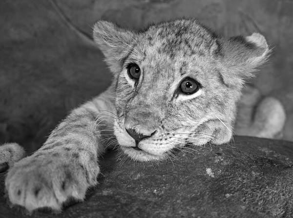 Black & White Close up of a Baby lion cub
