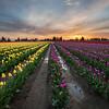Tulip Overload
