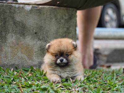 Puppy  in Thailand