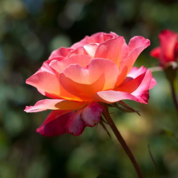 Rising Rose