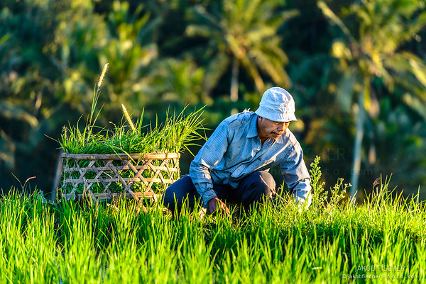 farmer in a rice field in Jatiluwih