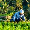 farmer in a rice field in Jatiluwih