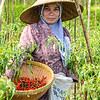 Lady harvesting Red peppers