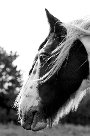 Molly the Piebald Horse (2)