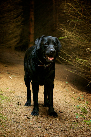 Digby, Labrador in Woods