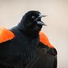 Red-winged blackbird, Agelaius phoeniceus, calling in Lois Hole Centennial Provincial Park, Alberta, Canada.