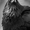 Common raven, Corvus corax, portrait in Jasper National Park, Alberta, Canada.
