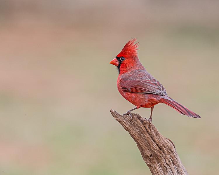 Male Cardinal - taken in Texas