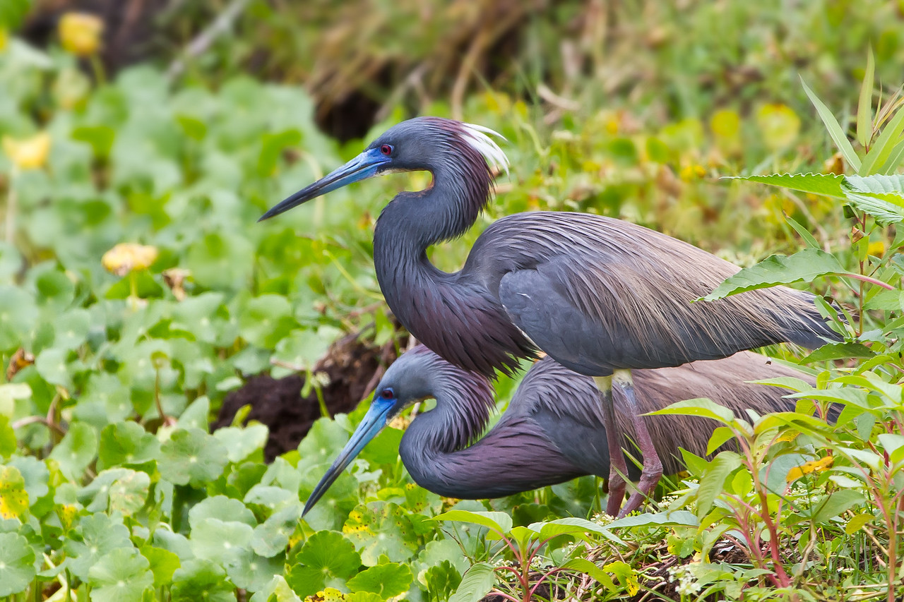 A pair of Tricolored Herons - taken in Florida.