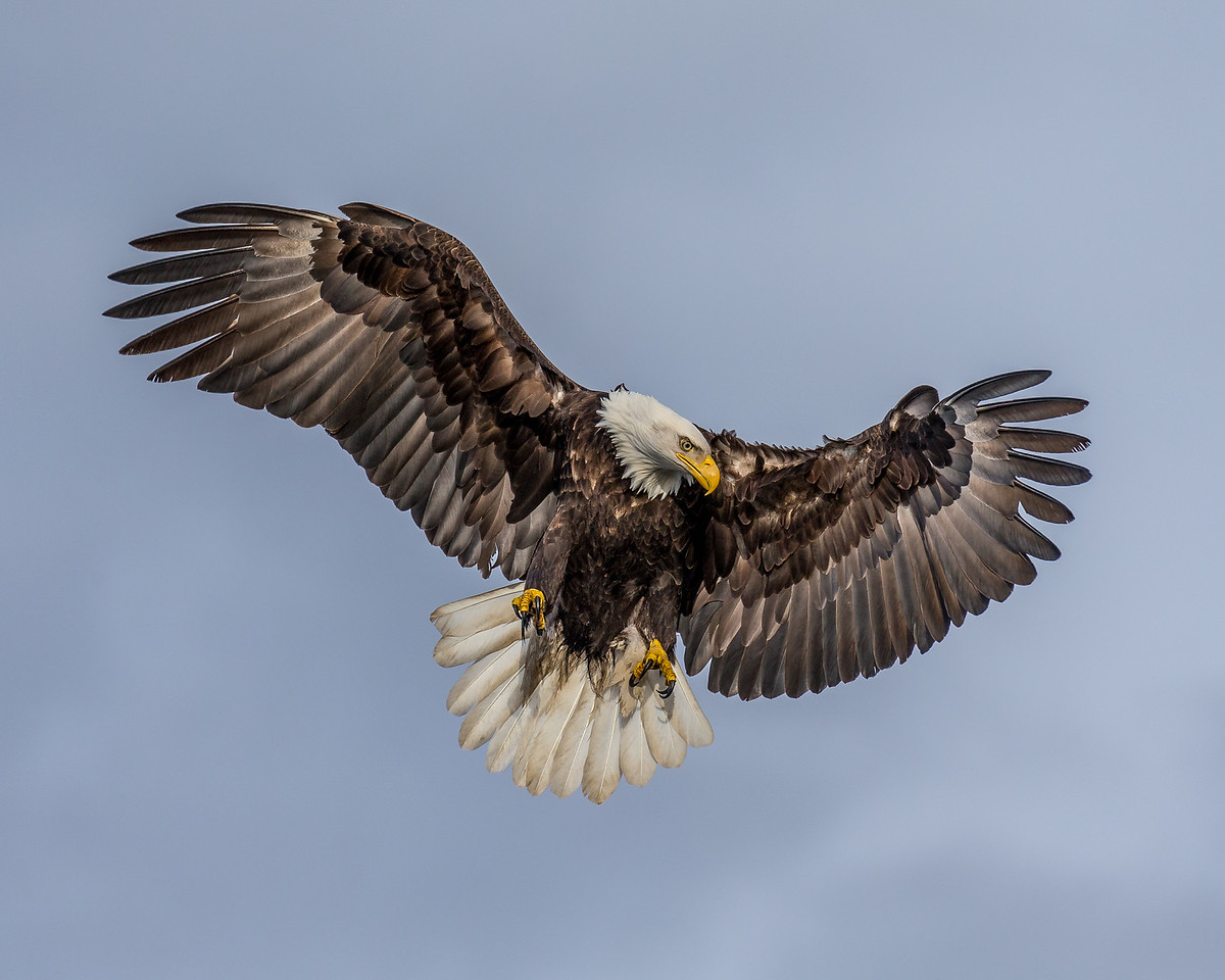Bald Eagle taken in Kachemak Bay, Alaska