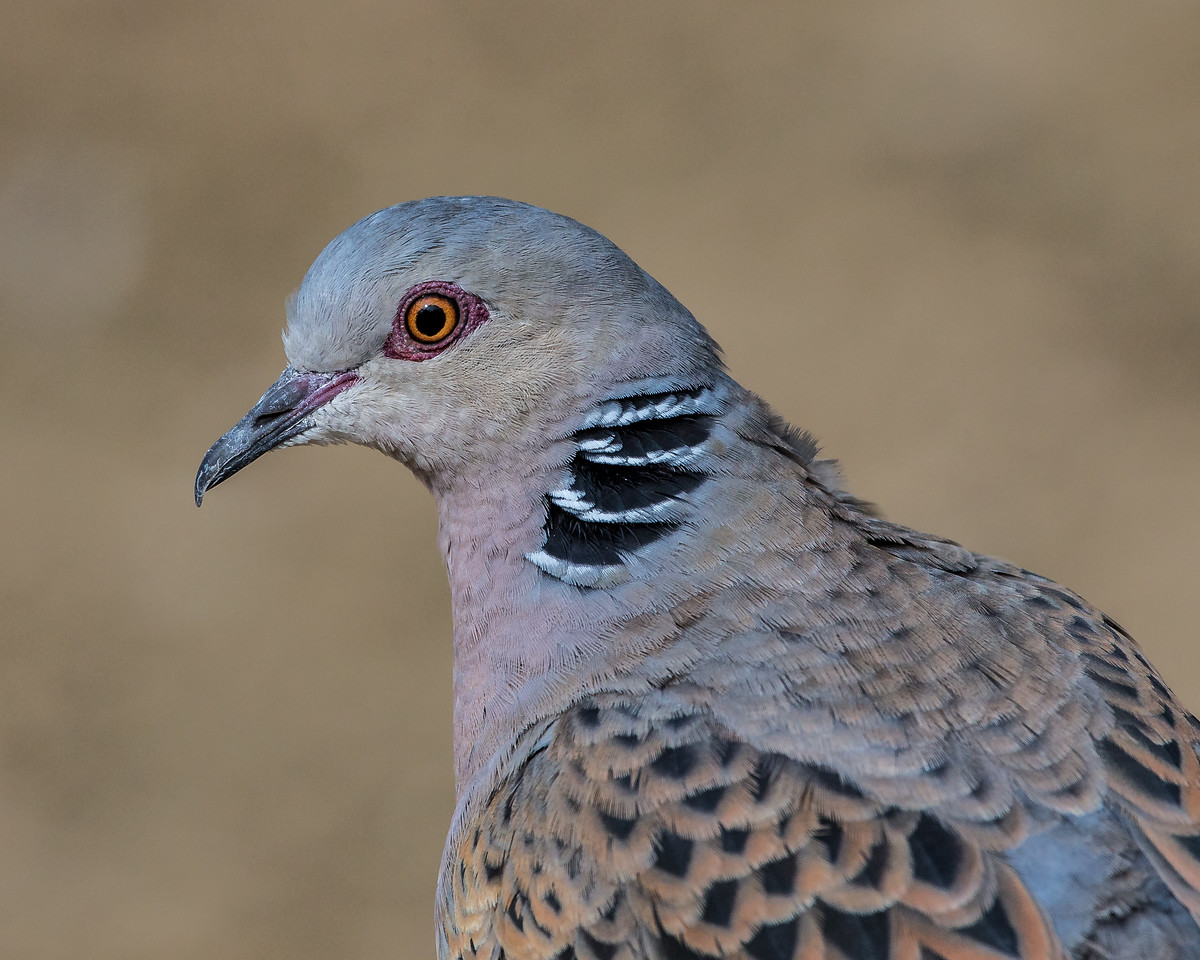 A Turtle Dove - taken in England