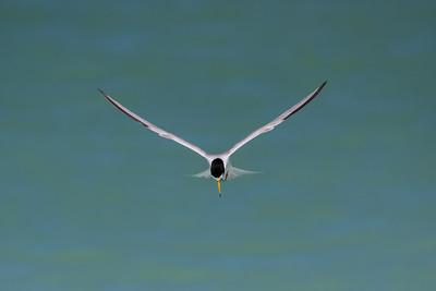 Least Tern Hovering - taken in Florida.