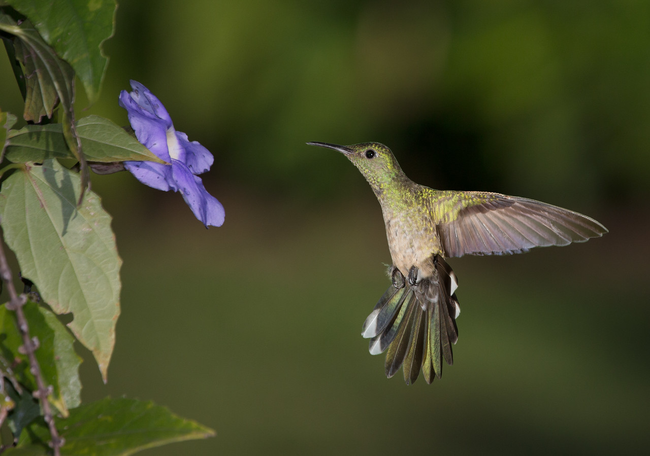 A Scaley-breasted Hummingbird - taken in Costa Rica