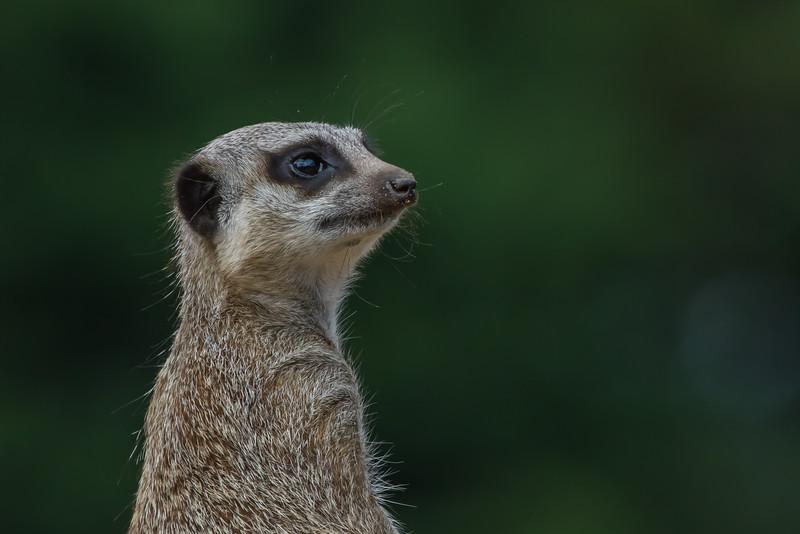 Meerkat - taken in Marwell Zoo, England