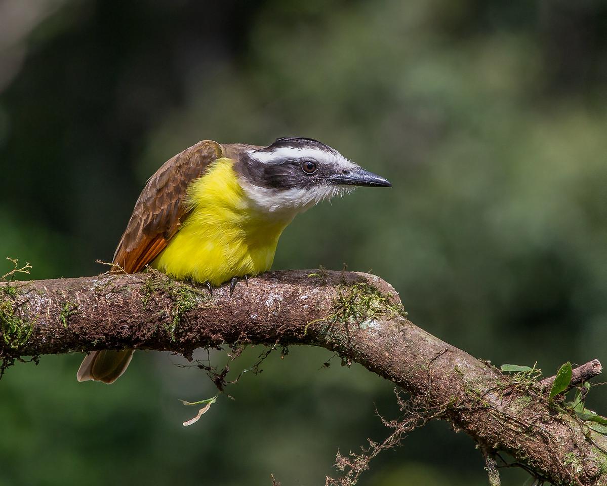 Great Kiskadee - taken in Costa Rica