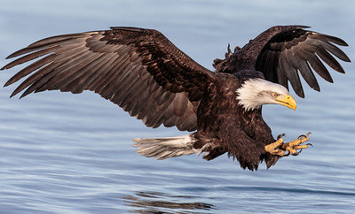 Bald Eagle taken in Kachemak Bay, Alaska