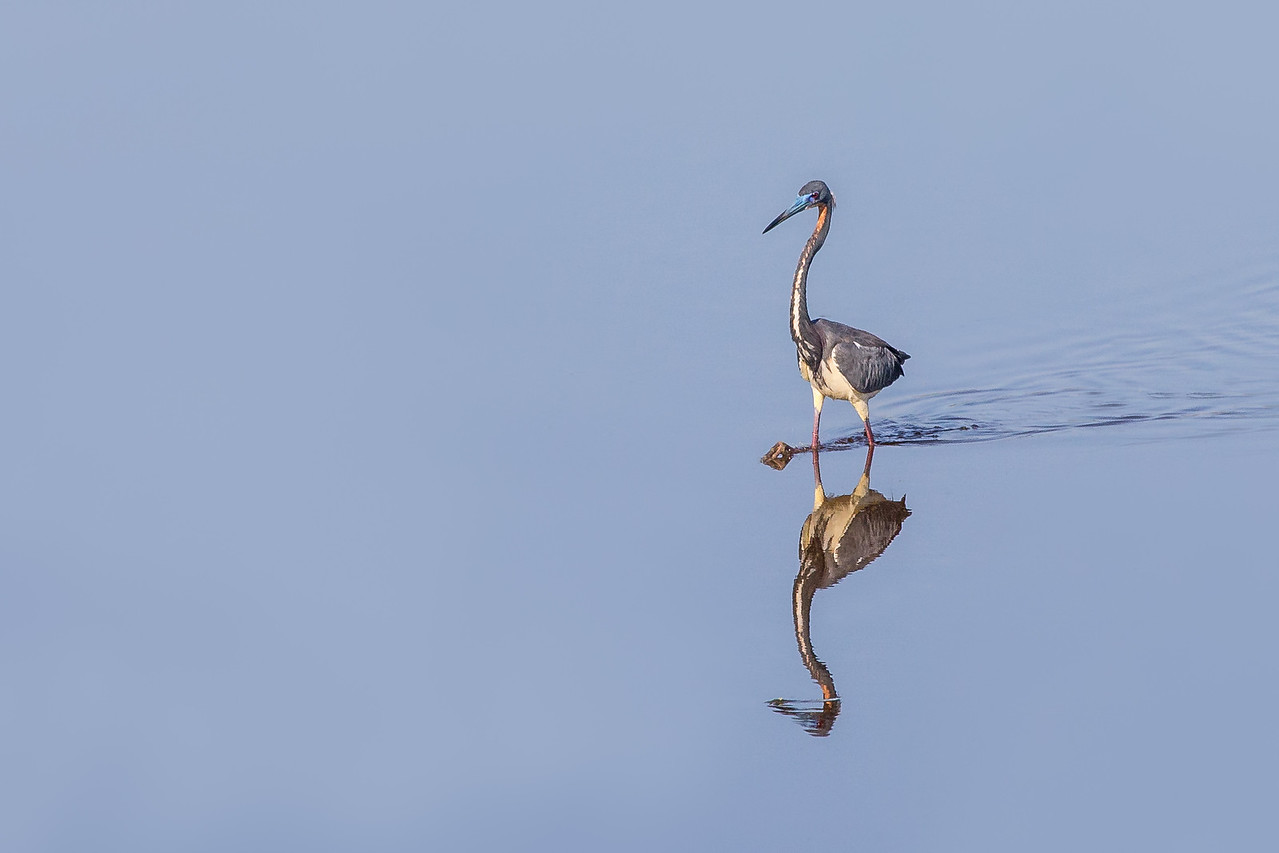 A Tricolored Heron - taken in Floida