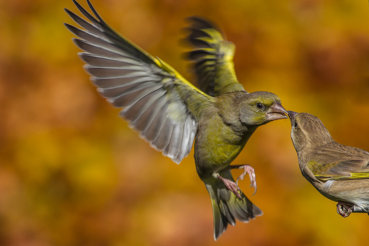 A Peck - Greenfinches taken in England