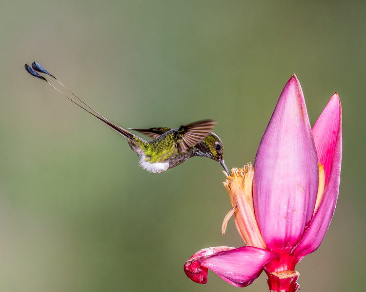 Booted Racket-tail Hummingbird, taken in Ecuador