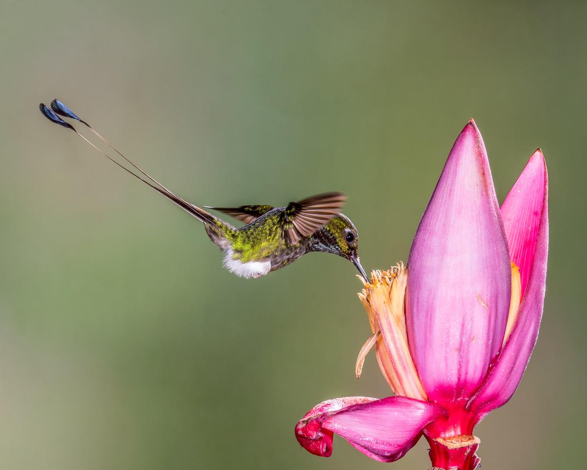 Booted Racket-tail Hummingbird, taken in Ecuador