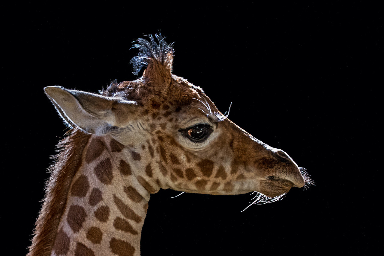 A one-day old Giraffe - taken in Marwell Zoo, England