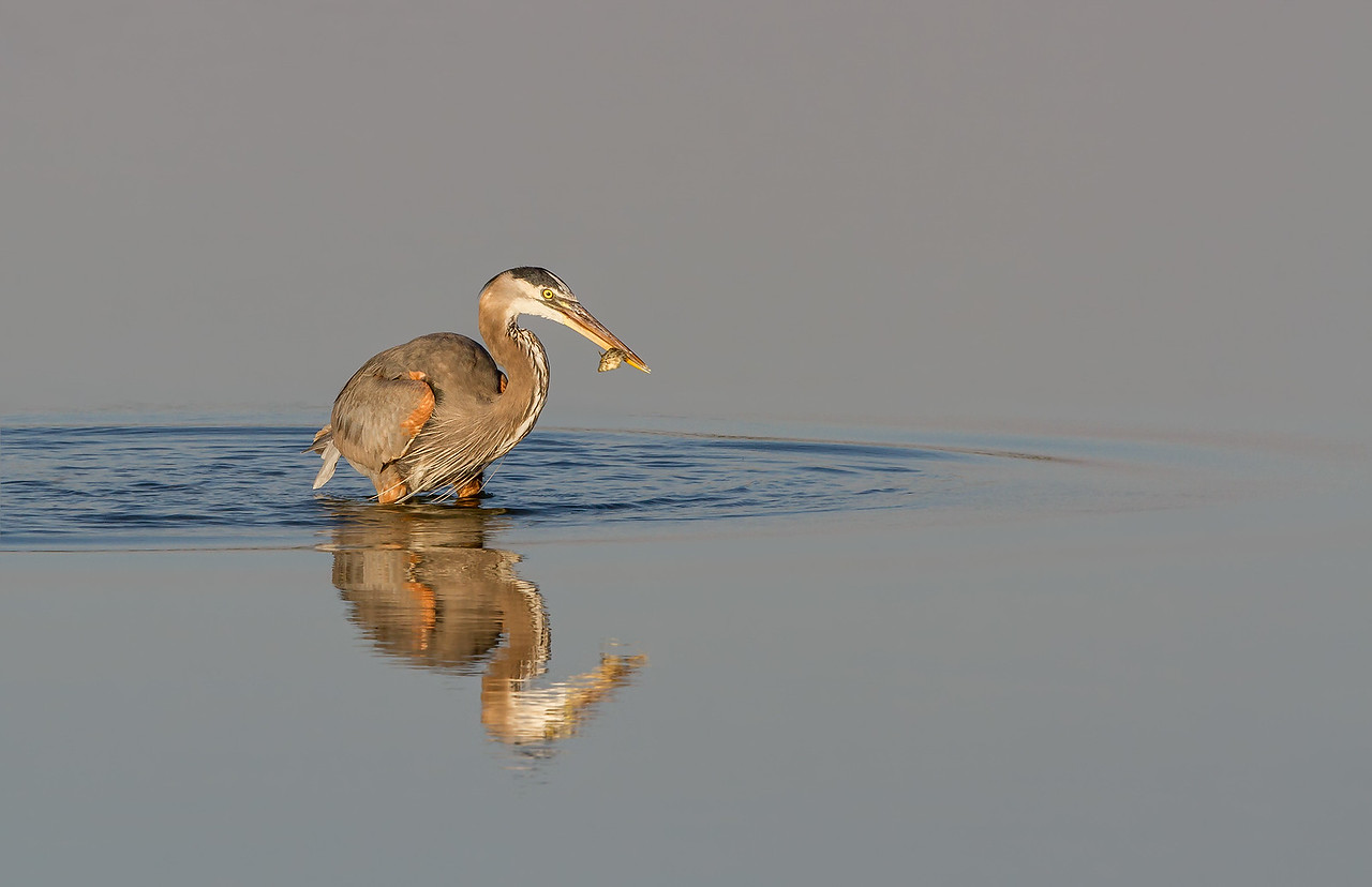 Early Morning Catch - A great blue heron taken in Florida