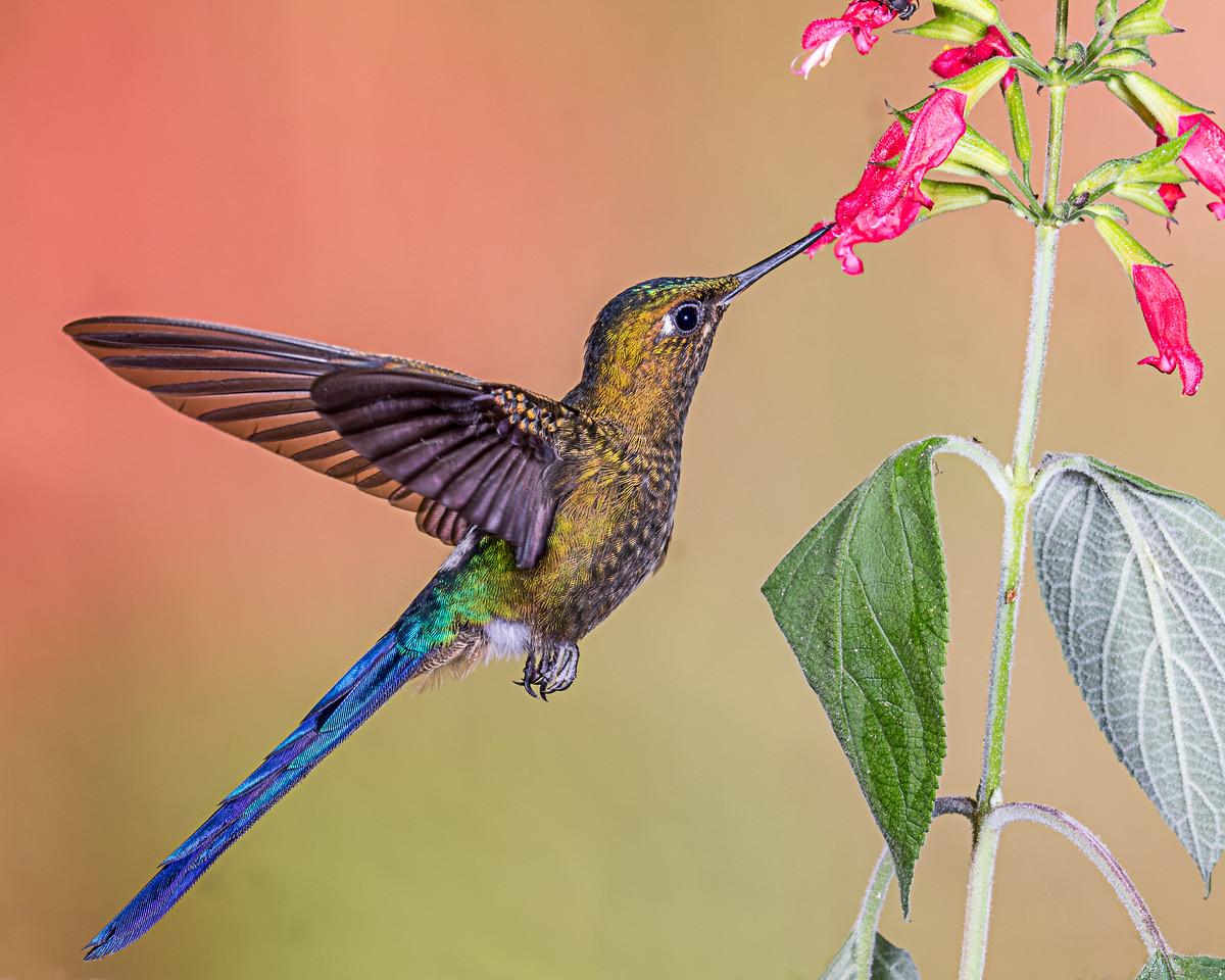 Violet-tail Sylph Hummingbird, taken in Ecuador