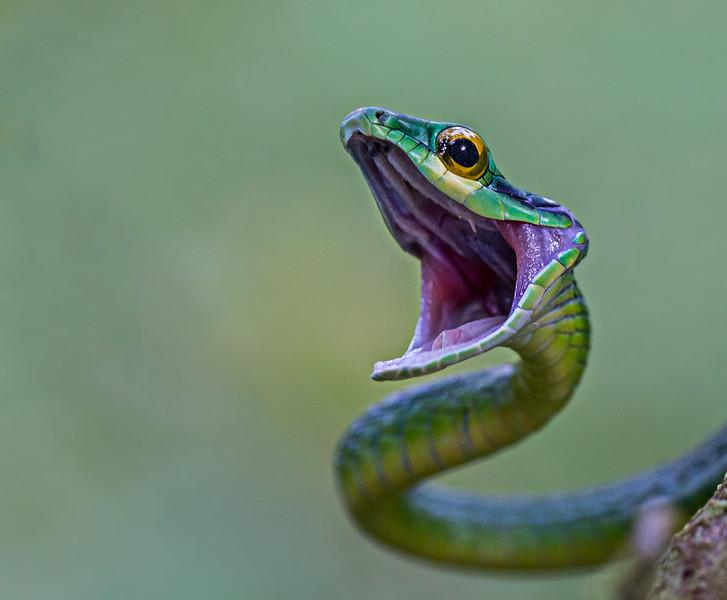 A Green Parrot Snake - taken in Costa Rica