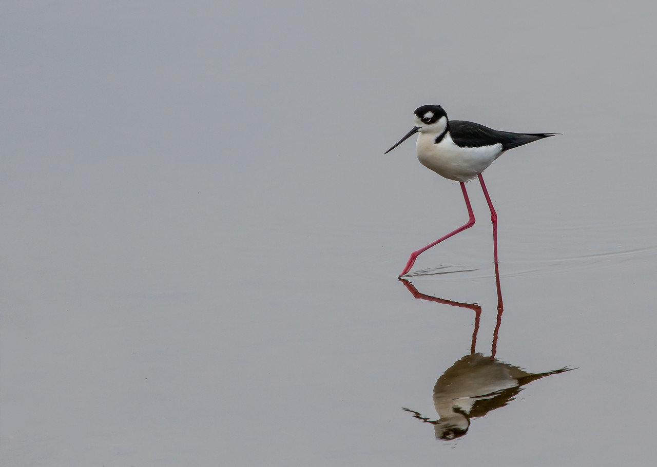 Black-necked Stilt -  taken in Florida