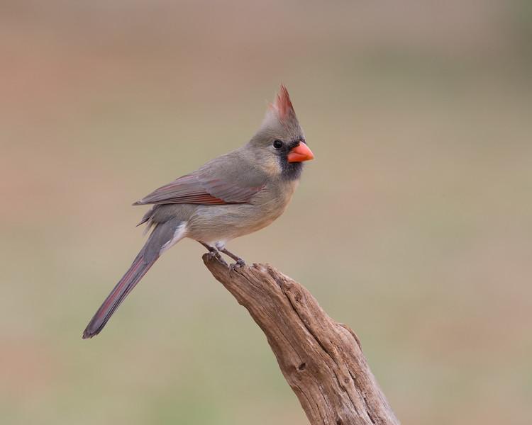 Female Cardinal - taken in Texas