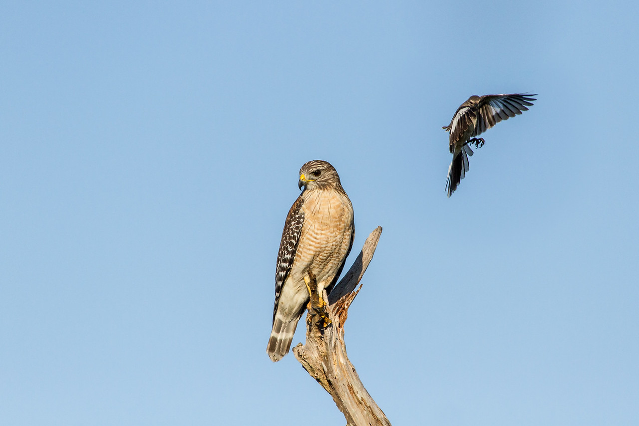 Attack - A red-shouldered Hawk attacked by a Mockingbird - taken in Florida