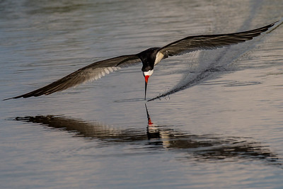 The End of the Skim   - A Black Skimmer taken in Florida