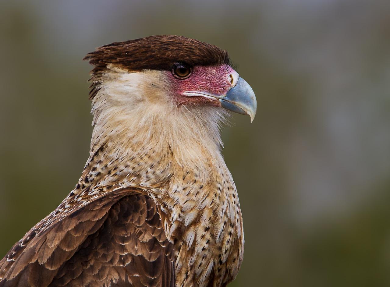 Crested Caracara - taken in Texas