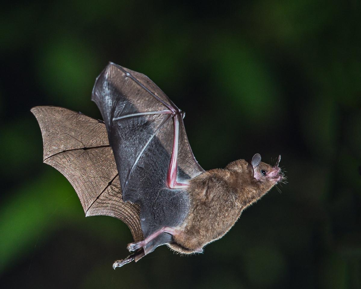 A Short-tailed Fruit Bat - taken in Costa Rica