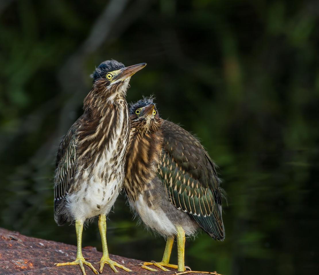 Two Green heron Fledglings