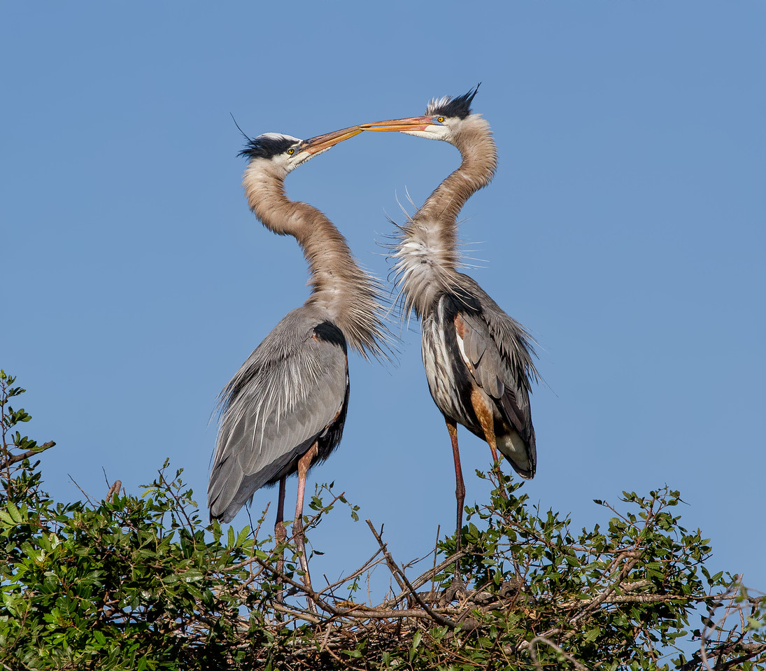 The Kiss - two great blue herons on the nest taken in Florida