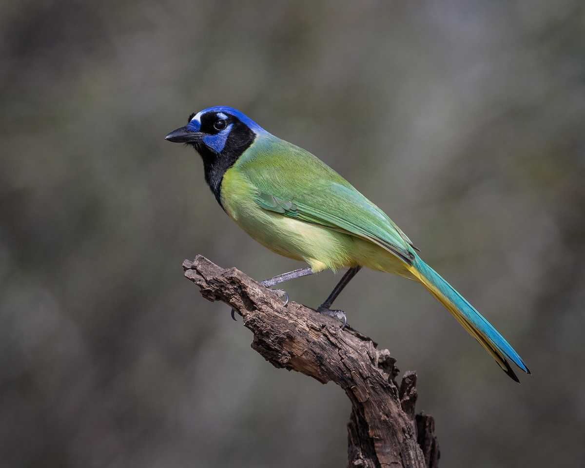 Green Jay - taken in Texas