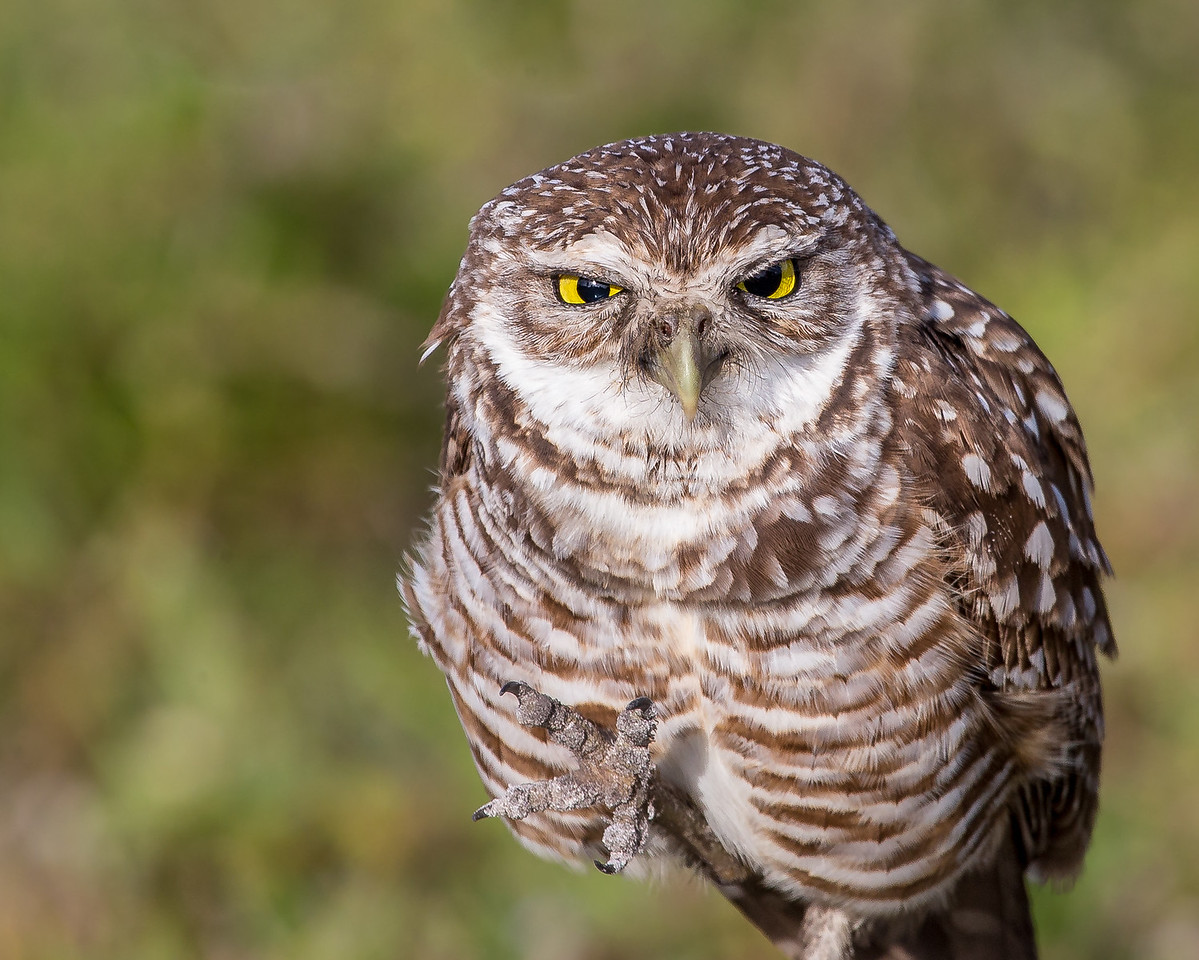 Angry - a Burrowing Owl - taken in Florida