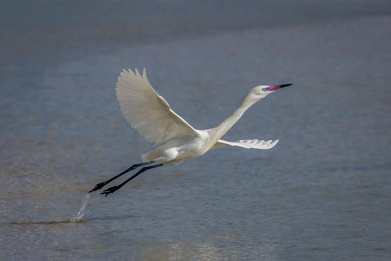 The Launch - a white morph reddish egret taken in Florida