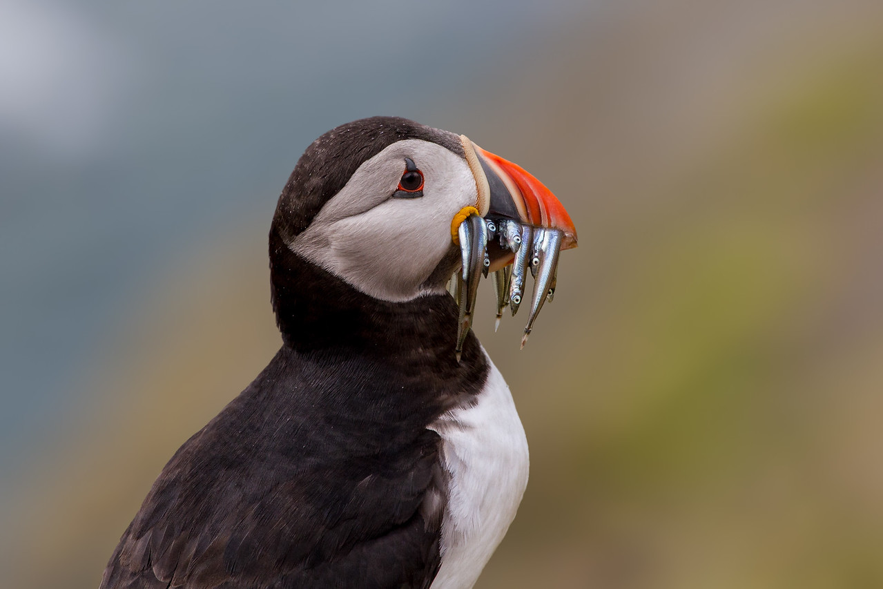 A puffin with Sand eels - taken on Skomer, Wales