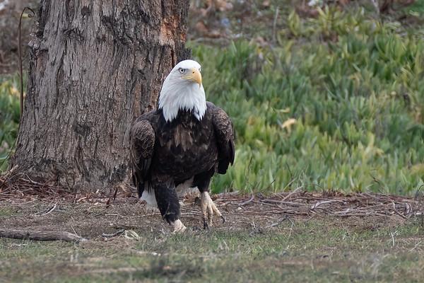 Eagle Stroll