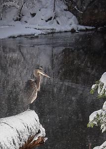 Yosemite Heron 1