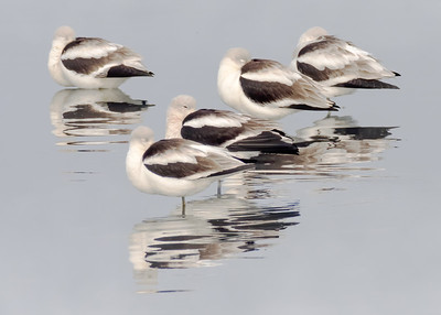 Pattern of Avocets
