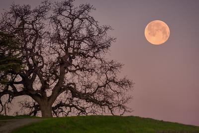 Oak Tree Moonset