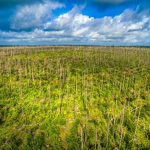 The Loblolly Pines of Bastrop, Texas