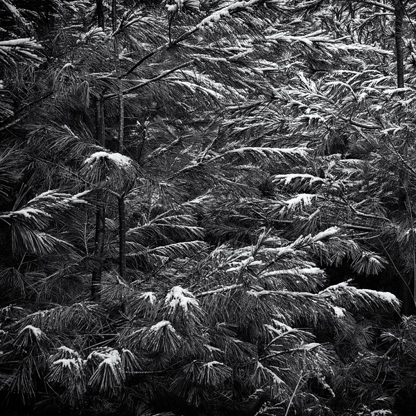 -Frosted pines