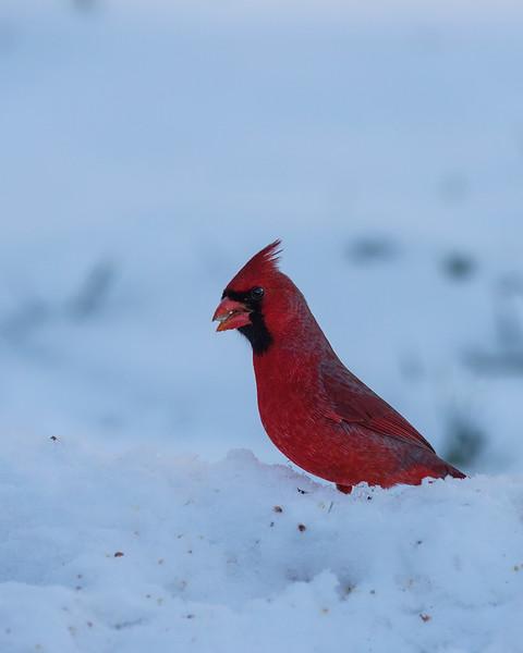 - Cardinal