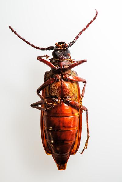 - Dead bug, size large